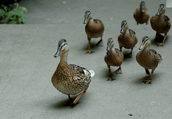leader ducks